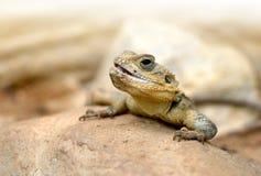 沙漠蜥蜴在石头的Trapelus Mutabilis 免版税图库摄影