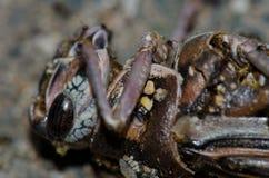 沙漠蝗虫死Schistocerca的gregaria 免版税库存图片
