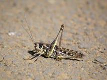 沙漠蝗虫 图库摄影