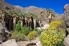 沙漠超级绽放,加利福尼亚 免版税库存图片
