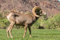沙漠车轮痕迹的大角野绵羊Ram 免版税库存照片