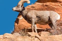 沙漠车轮痕迹的比格霍恩Ram 免版税库存图片