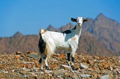 沙漠迪拜山羊 库存照片