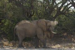 沙漠适应了大象公牛 库存照片