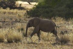 沙漠适应了大象小牛 免版税库存图片
