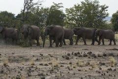沙漠适应的大象牧群 免版税图库摄影