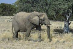 沙漠适应的大象Femle 图库摄影
