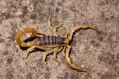 沙漠长毛的蝎子 库存照片