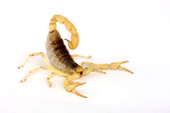 沙漠长毛的蝎子 免版税库存图片