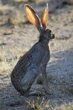 沙漠长耳大野兔sonoran 库存照片