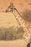 沙漠长颈鹿 免版税库存图片