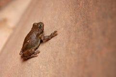 沙漠青蛙 库存照片