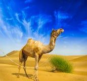 沙漠风景。 沙子、骆驼和与云彩的蓝天 免版税图库摄影