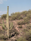 沙漠风景用柱仙人掌仙人掌 免版税库存图片