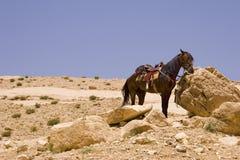 沙漠马 库存图片