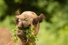 沙漠骆驼 免版税库存图片