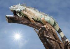 沙漠鬣鳞蜥休眠星期日木头 免版税图库摄影
