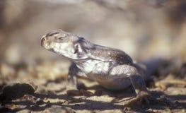 沙漠鬣鳞蜥蜥蜴 库存图片