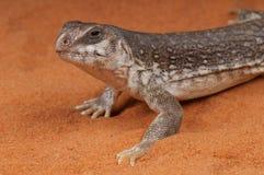 沙漠鬣鳞蜥 免版税图库摄影