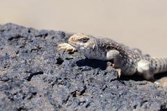 沙漠鬣鳞蜥 免版税库存照片