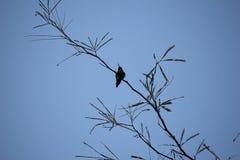 沙漠鸟倾向于是更加丰富的植被是更加豪华的和因而提供更多昆虫、果子和种子作为食物的地方 免版税库存照片