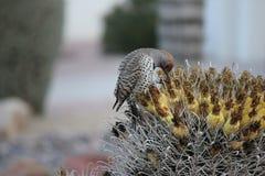沙漠鸟倾向于是更加丰富的植被是更加豪华的和因而提供更多昆虫、果子和种子作为食物的地方 库存照片
