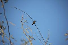沙漠鸟倾向于是更加丰富的植被是更加豪华的和因而提供更多昆虫、果子和种子作为食物的地方 免版税库存图片