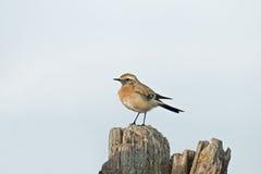 沙漠麦翁之类的鸣禽 免版税库存照片