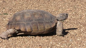 沙漠龟走 影视素材