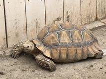 沙漠龟 免版税库存照片