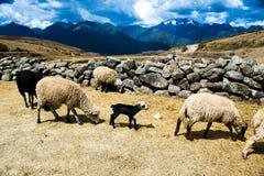 沙漠绵羊 库存图片