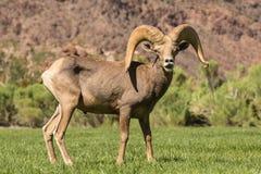 沙漠绵羊Ram Rutting 图库摄影