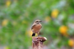 沙漠deserti oenanthe麦翁之类的鸣禽 库存图片