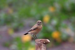 沙漠deserti oenanthe麦翁之类的鸣禽 免版税库存图片