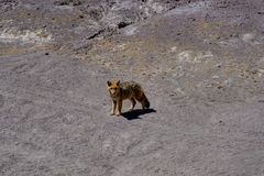 沙漠Fox土狼Altiplano玻利维亚 免版税图库摄影