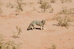 沙漠Fox -塔拉姆佩雅国家公园-阿根廷 库存照片
