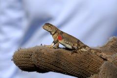 沙漠gobi蜥蜴蒙古 免版税库存照片