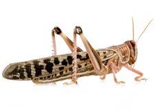 沙漠gregaria蝗虫schistocerca 库存图片