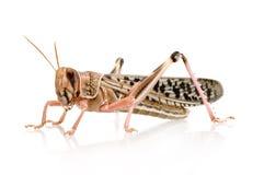沙漠gregaria蝗虫schistocerca 库存照片