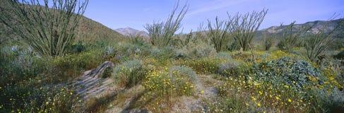 沙漠Lillies全景,蜡烛木和花在土狼峡谷的春天领域在Anza-Borrego离开国家公园, Califo 免版税库存照片