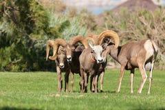 沙漠Rutting的大角野绵羊 免版税库存图片