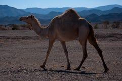 沙特阿拉伯半岛的骆驼 库存照片