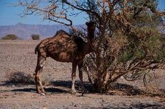 沙特阿拉伯半岛的骆驼 库存图片