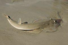 沙鲨 图库摄影