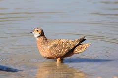 沙鸡, Namaqua -从非洲的野生鸟-飞行被察觉的秀丽  免版税库存图片