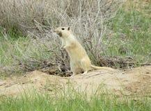 沙鼠在Talimarjon, Guzar Dtsrtict,乌兹别克斯坦附近的含沙沙漠 2014年4月9日 库存照片