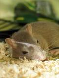 沙鼠宠物休眠 免版税库存照片