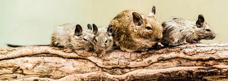 沙鼠家庭 免版税库存图片