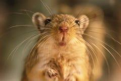 沙鼠或叫的沙漠之鼠 免版税图库摄影