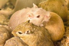 沙鼠或叫的沙漠之鼠 库存照片